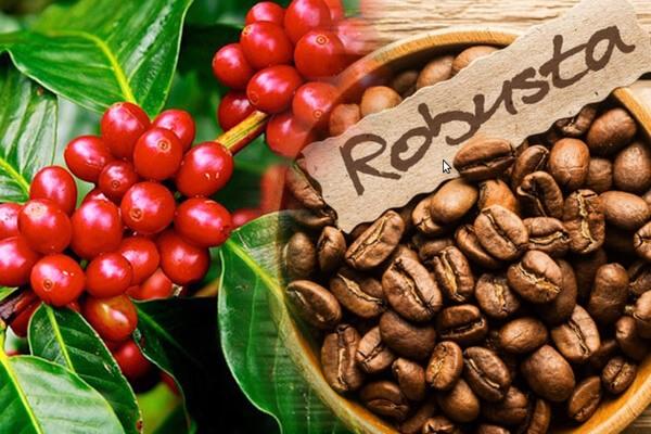 Tìm hiểu về cà phê: Cà phê Robusta được trồng ở vùng Tây Nguyên (Việt Nam) luôn đảm bảo tốt nhất về chất lượng, hạt to, chắc, không bị sâu bệnh, mốc